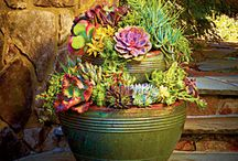 Garden: Succulents / by Cornel Slabber