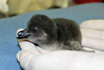 Penguin Chicks / Meet the new 'chicks' in town! Favorite pics of African Penguin chicks. The newest additions to the Adventure Aquarium family.  / by Adventure Aquarium