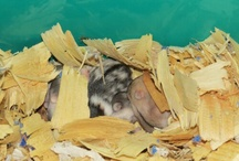 Dwarf Hamsters / by JuiceARollOfCandy