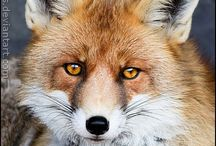Foxies / All foxes, all the time! / by Tracey Kruger
