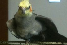 Trouble / This board has pictures of my pet cockatiel Trouble. He is a funny little bird.  / by Susan Nolff