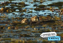 Otter 501: A webStory / A bold, new way of storytelling, the webStory introduces the world of the sea otter, focusing on one abandoned newborn sea otter pup's rescue, care, and eventual return to the wild. Otter 501: A webStory uses a web-based multimedia platform to provide a compelling and immersive experience. / by Otter 501