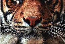 Tigers / by Kathi Elizondo