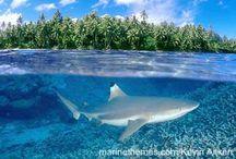 Nothing But Sharks / Every week is shark week. http://NothingButSharks.com / by Chad Elkins