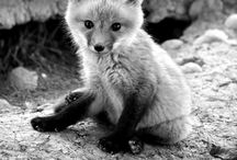 A Kit or a Pup / a board about foxes - their young can be called either a kit or a pup / by Carolyn Hutson