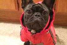 French bulldog in a raincoat / French bulldog / by Jeannette De Guzman