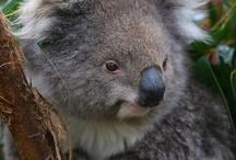 Australian Animals / Koala, Kangaroos, Wombats, Platypus, Emus, Tasmanian Devils and more lovable Australian animals! / by Zoos Victoria
