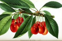 fruit and veggies / floral and botanical art examples and reference / by Bonnie Lecat Designs