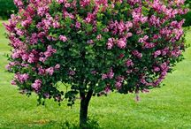 Shrubs and Trees / What I have in my garden so far / by Linda Robinson