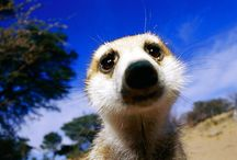 Meerkats are Cool / by Francis Hunt