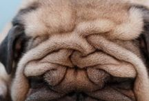 The essence of pug / by Katherine Fowler