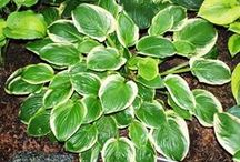 Hostas are beautiful. Really  / by Karen Clontz-Patterson