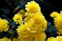 flowers I have photographed / by Jerri Lynn Shuttlesworth