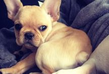 Frenchie  / by Ashlee Fairall-Kennedy