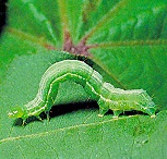 Bad Garden Insects / These guys are ugly to the core. These insects can do damage to your garden so keep a watchful eye and make them unwelcome in your garden. / by Kat White