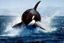 Animals: Sealife / by Jolanda van Pareren