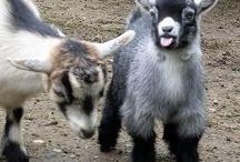 Goat Playground / by KkrazyKkaren Glff