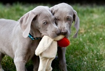 For The Love Of Weims / by Laura Williams