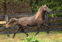 Rocky Mountain/KentuckeyMountain Horse / The RMH was developed in the Kentucky Appalacian Mts. in 1890 from a western stallion. In the mid-1900's a stallion named Old Tobe was used to develop today's RMH. It is noted for a chocolate palomino coat with flaxen mane & tail, the result of a rare silver dapple gene. / by Barbara Barham