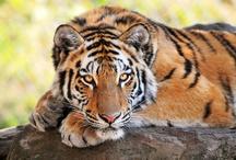 Soul of Tiger / by Tiger Fénix