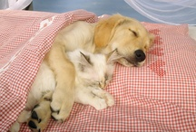 animals-  cute dogs and cats / who said dogs and cats cannot get along.  / by Cindy Hertz