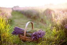 Lavender / by Reformation Acres