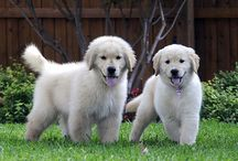 I love goldens / by Mike Courtemanche