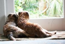 Border terriers / by Katie Wright