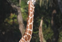 Giraffes / by Stacey Dorsch
