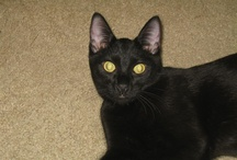 Black Cats / Beautiful Black Cats! / by Laura Canter