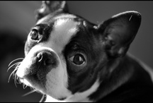 Boston Terriers / Dedicated to my precious Phoebe...forever like a two year old on crack...I miss you every single day. / by Jan Armentrout