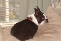 I luv my Blossom (she is a  Boston Terrier) / by Diana Mae McNeil