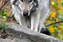 paint acry wolf / by Lila Wickham