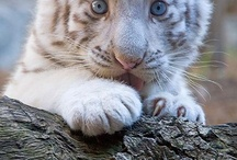♥White Tigers♥ / by Catrina Waters
