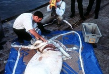 Giant Squid! / Do we need another reason? / by Deep Sea News