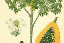 The Tree/Fruit of the Angels / by Herbal Papaya