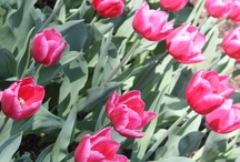 Tulip Time 2013 / by Holland Michigan
