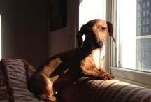 Dachshunds & Our Lucy / Lucy is our rescue...a little battered and worn from life in the street, but endlessly loving. / by Eloisa James