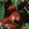 Apples / by Michele Murray