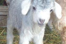 Goats / by Haley McClellan