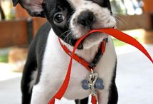 Boston Terriers / by Susan Engle