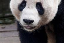Panda / by Amanda Calabro