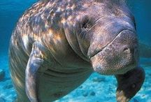 Manatees / by Margaret Brumfield