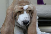 Basset hounds / by Carmen Cabrer Lacted