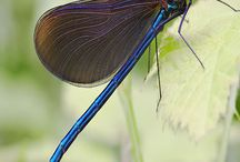 Dragonflies and Damselflies / by Pam