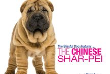 """The Blissful Dog   Chinese Shar-Pei / At one time the Chinese Shar-Pei was the rarest breed of dog in the world. After a phenomenal comeback the """"wrinkle"""" dog has become a mainstay at dog shows and as a beloved companion. / by The Blissful Dog"""