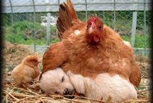 chicken / by Lucee Lu