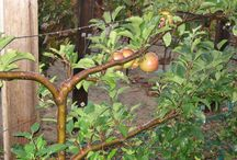 Gardening Ideas / Includes pins on:  - espalier trees  - dwarf trees  - aquaponics  - composting / by Denise General-Booth