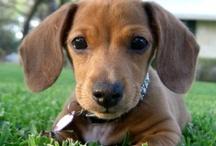 dachshund love / by Cynthia Robin