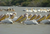 Senegal, West Africa / Senegal has many interesting sites including Goree Island, Djoudj National Bird Sanctuary, Pink Lake and beautiful beaches. / by Palace Travel
